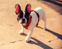 Französische Bulldogge auf der Straße Stockbild