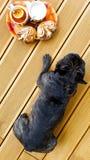 Französische Bulldogge auf der Terrasse mit Tee und Plätzchen Beschneidungspfad eingeschlossen stockfoto
