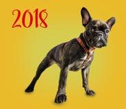 Französische Bulldogge auf einem gelben Hintergrund Stockbild