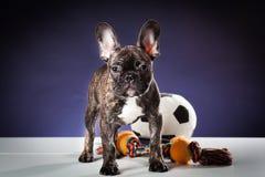 Französische Bulldogge auf einem Schwarzen I lizenzfreie stockbilder