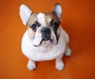 Französische Bulldogge auf orange Hintergrund Lizenzfreie Stockfotografie