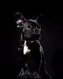 Französische Bulldogge auf Schwarzem Lizenzfreies Stockbild