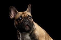 Französische Bulldogge auf Schwarzem Lizenzfreies Stockfoto