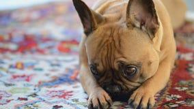 Französische Bulldogge auf Teppich Stockfotografie