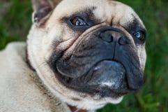 Französische Bulldogge Browns Lizenzfreie Stockfotografie