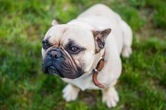 Französische Bulldogge Browns Stockfoto