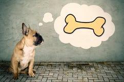 Französische Bulldogge denkt an einen Knochen stockbild