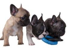 Französische Bulldogge der Welpen Stockfotografie