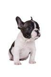 Französische Bulldogge des Welpen Stockfoto