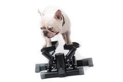 Französische Bulldogge, die Übung auf Stepper tut Stockfotografie
