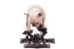 Französische Bulldogge, die Übung auf Stepper tut Stockbilder