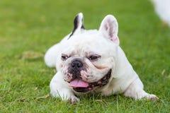 Französische Bulldogge, die auf dem Garten lächelt Lizenzfreie Stockfotografie