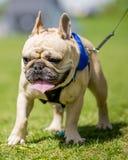 Französische Bulldogge, die auf einem Gebiet auf einer Leine geht lizenzfreie stockbilder