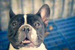 Französische Bulldogge, die closup Schuss schaut Stockfotos