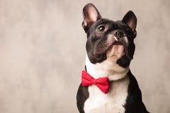 Französische Bulldogge, die ein rotes bowtie bei der Aufstellung oben schauen trägt Lizenzfreie Stockfotografie