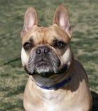 Französische Bulldogge, die für die Kamera lächelt Lizenzfreie Stockbilder