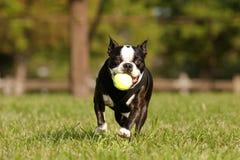 Französische Bulldogge, die Reichweite spielt Lizenzfreie Stockbilder