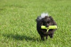 Französische Bulldogge, die Reichweite spielt lizenzfreies stockfoto