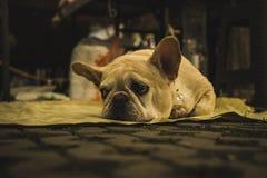 Französische Bulldogge, die traurig und aus den Grund in Chiang Mai gebohrt schaut lizenzfreie stockfotos