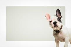 Französische Bulldogge, die vor einem großen leeren Brett steht Stockbild