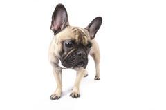 Französische Bulldogge, die weg schaut Lizenzfreie Stockbilder
