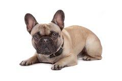 Französische Bulldogge getrennt auf Weiß Stockfotos