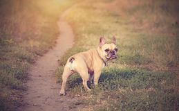 Französische Bulldogge im Grün Lizenzfreie Stockbilder