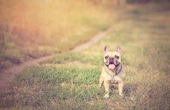 Französische Bulldogge im Grün Stockfoto