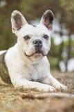 Französische Bulldogge im Park Lizenzfreies Stockbild