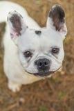 Französische Bulldogge im Park Lizenzfreie Stockfotos