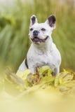 Französische Bulldogge im Park Lizenzfreie Stockbilder