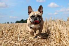 Französische Bulldogge im Sonnenschein stockbilder