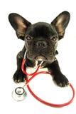 Französische Bulldogge im Studio Lizenzfreies Stockfoto