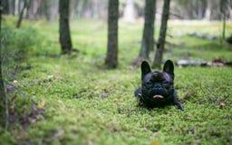 Französische Bulldogge im Wald lizenzfreies stockbild