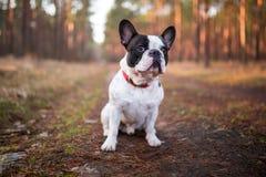 Französische Bulldogge im Wald Lizenzfreie Stockfotos
