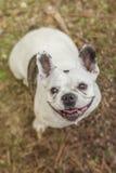 Französische Bulldogge im Wald Stockfotos