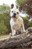 Französische Bulldogge im Wald Stockfoto