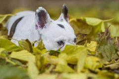 Französische Bulldogge im Wald Stockbild