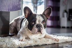 Französische Bulldogge im Wohnzimmer Stockbilder