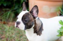 Französische Bulldogge im Yard Stockbild