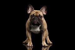 Französische Bulldogge lokalisiert auf Schwarzem Stockfoto