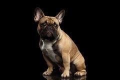 Französische Bulldogge lokalisiert auf Schwarzem Lizenzfreie Stockfotos