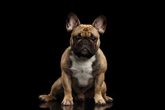 Französische Bulldogge lokalisiert auf Schwarzem Lizenzfreies Stockfoto