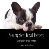 Französische Bulldogge mit copyspace Stockfotografie