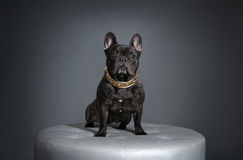 Französische Bulldogge mit goldenem Kragen Lizenzfreies Stockbild