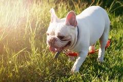 Französische Bulldogge mit smiley stellt das Gehen auf Gras gegenüber Glückliches Hund-por stockfoto