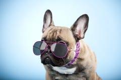 Französische Bulldogge mit Sonnenbrille Stockbild
