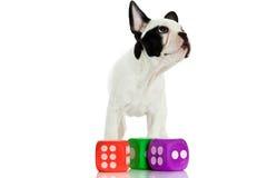 Französische Bulldogge mit würfelt lokalisiert auf dem weißen Hintergrund, der Hund spielt Stockfotografie