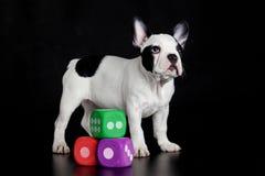 Französische Bulldogge mit würfelt lokalisiert auf schwarzem Hintergrund Lizenzfreies Stockfoto