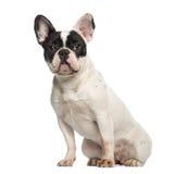 Französische Bulldogge, 10 Monate alte, Sitzen und Gegenüberstellen Stockfotografie